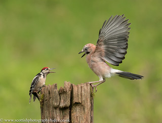 1st August 2020 Great Spotted Woodpecker disagreement with a Jay | by Alan McFadyen