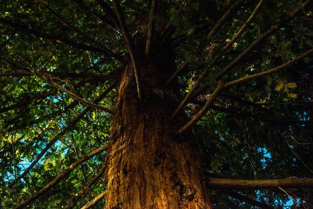moonlight through the redwood trees