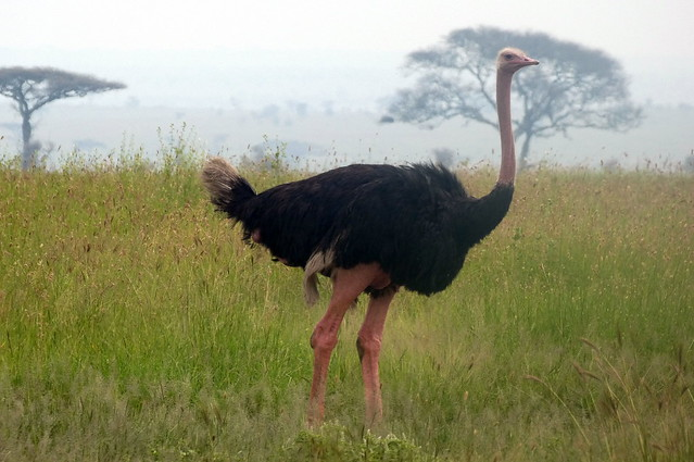 A Male Ostrich
