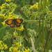 Gatekeeper Butterfly-1014190