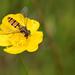 Episyrphus balteatus Hoverfly-08278