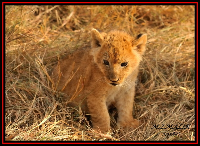 LION CUB  (Panthera leo)....MASAI MARA.....SEPT 2018.