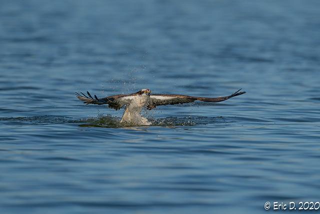 Fishing Osprey reloaded