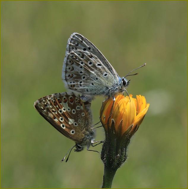 Chalkhill Blues mating on Hawksbeard