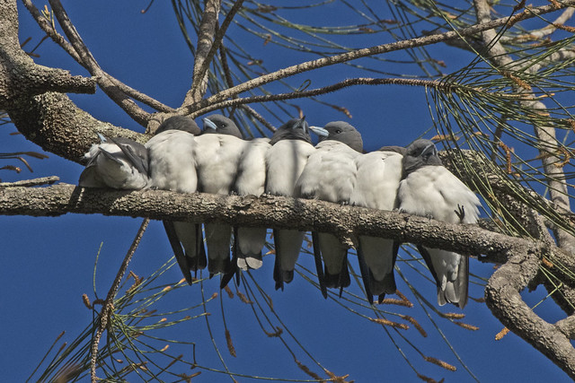 Whitebreasted Woodswallows at Dunethin Rock, Bli Bli Qld.