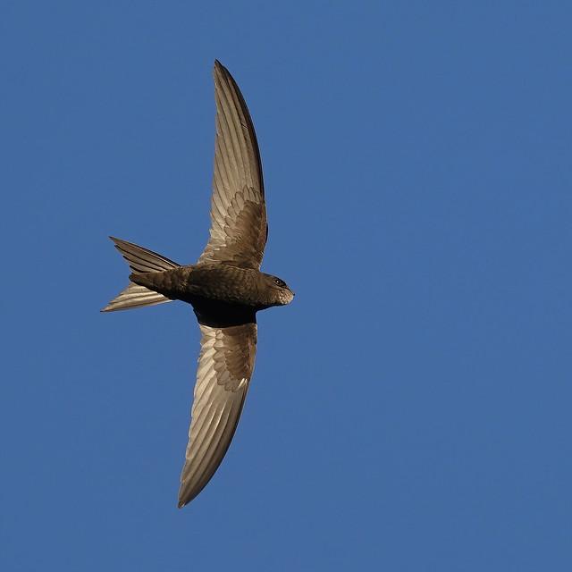 Common Swift.
