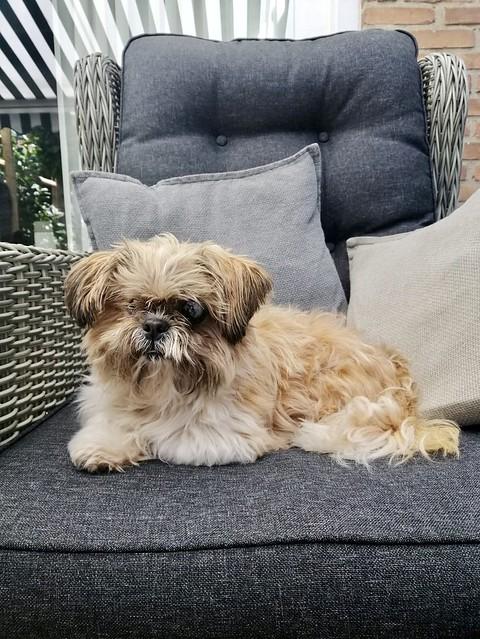 Bruinwit hondje op tuinstoel