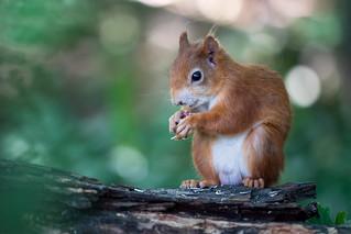 Squirrel (in-explore-2020-08-02)