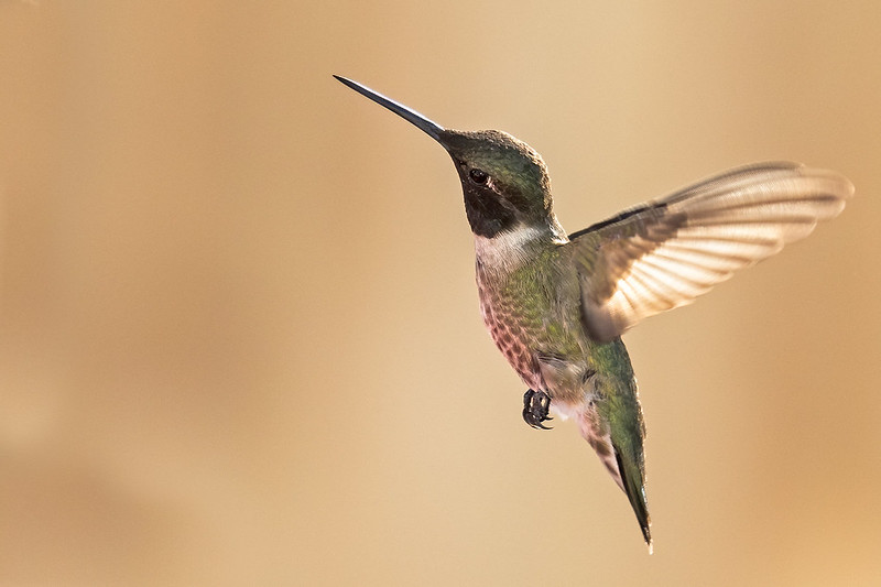 Black-chinned-Hummer-17-7D2-073120