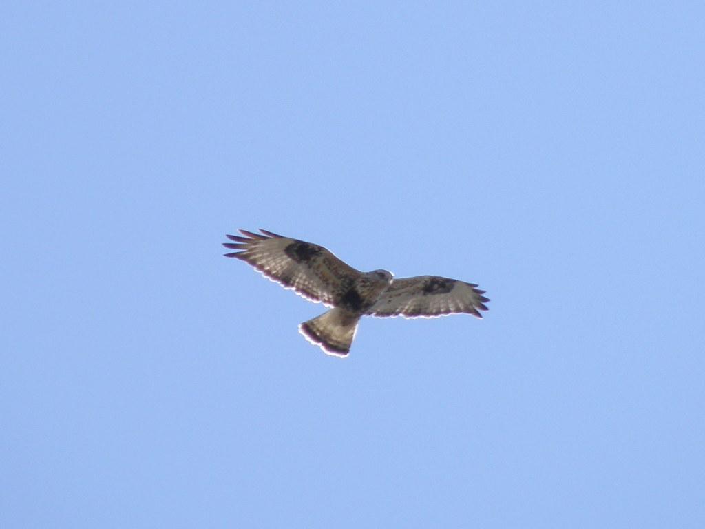 P3221290.........rough-legged hawk
