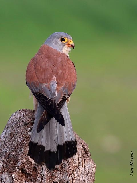 IMG_0173  Cernicalo primilla  ( macho ) .Falco naumanni