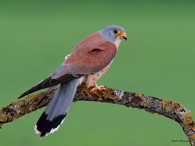 _09A3714    Cernicalo primilla  ( macho ) .Falco naumanni