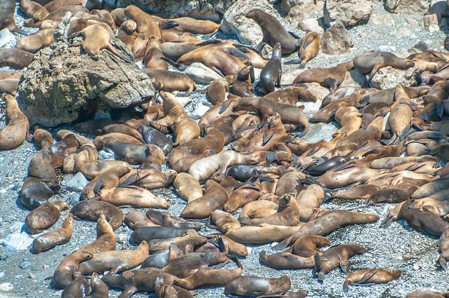 Lobos marinos en San Fernando