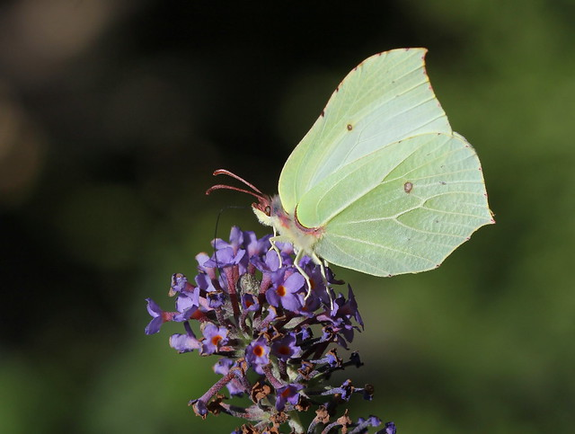 Brimstone (Female)