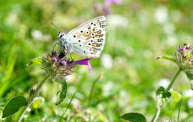 Chalkhill Blue Butterfly on Wild Basil