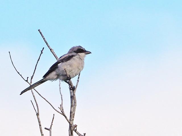 Loggerhead Shrike 2-20200801