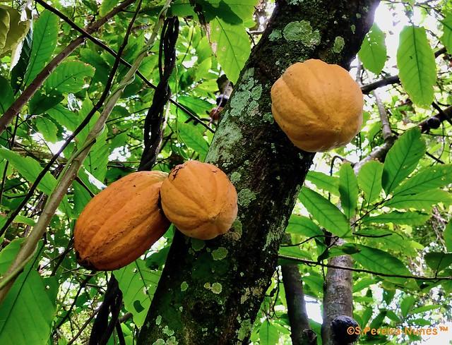 Cocoa Fruit, Cacao, fruta de Cacau — Bergendal Resort, Suriname