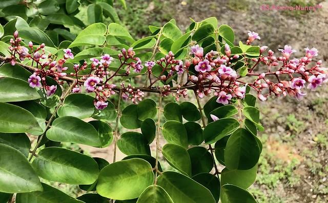Flor-de-Carambola, Star Fruit Flowers, Bergendal Resort, Suriname