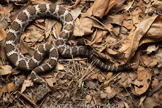Crotalus cerberus - Pima County, AZ