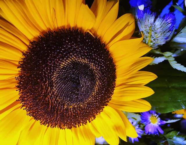 Sunflower, Myersville, Maryland, August 2020.
