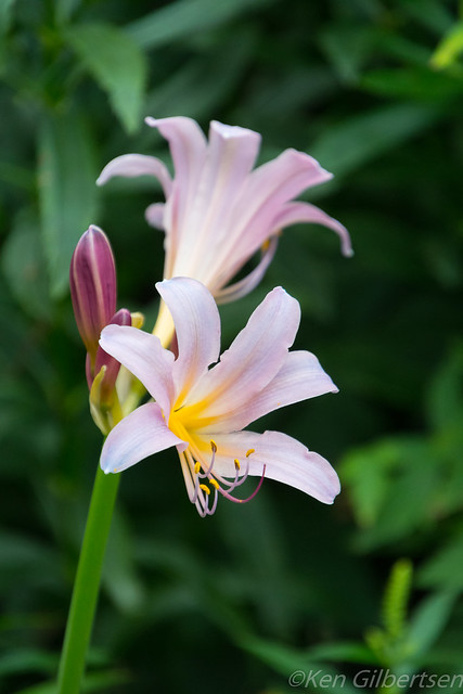 Resurrection Lily