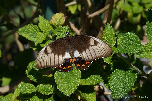Orchard swallowtail butterfly (female)