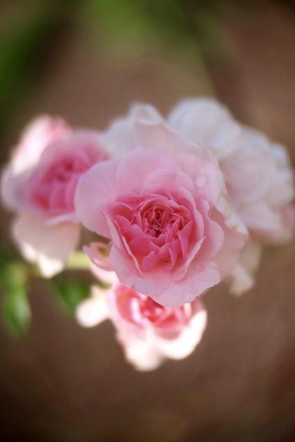 Pink Rose       SOM Berthiot Cinor   1:1.5  F=40 M/M
