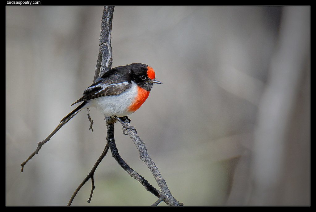 Red-capped Robin: Ah, Halcyon Days Far Gone