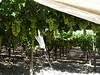 Kraj vína – na jihovýchodě Sicílie se pěstuje odrůda Nero d´Avola, foto: Petr Nejedlý