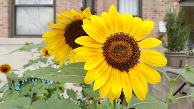 Adams Morgan Sunflowers