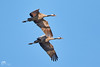 Common Cranes in  Federow Germany