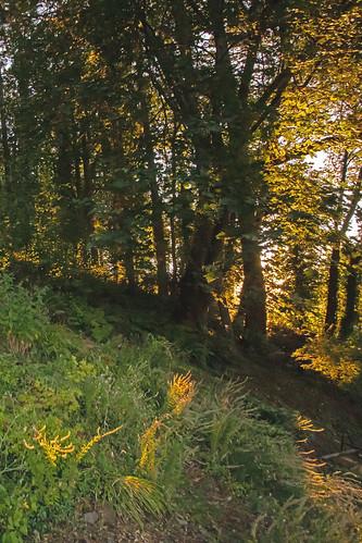 sunset sunshine summer yellow oregon rainieroregon bigleafmaple