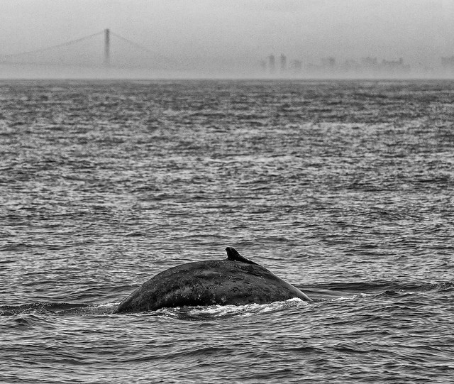 Humpback Whale and NYC Skyline