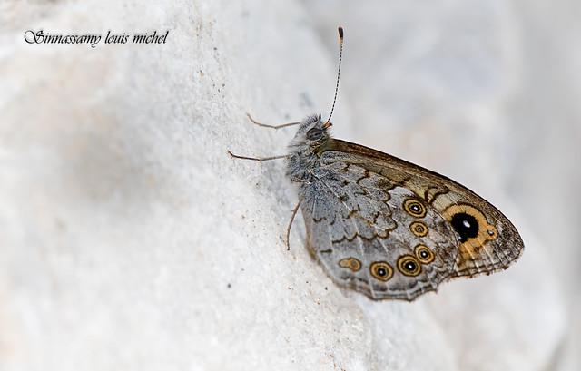 Wall brown / Lasiommata megera