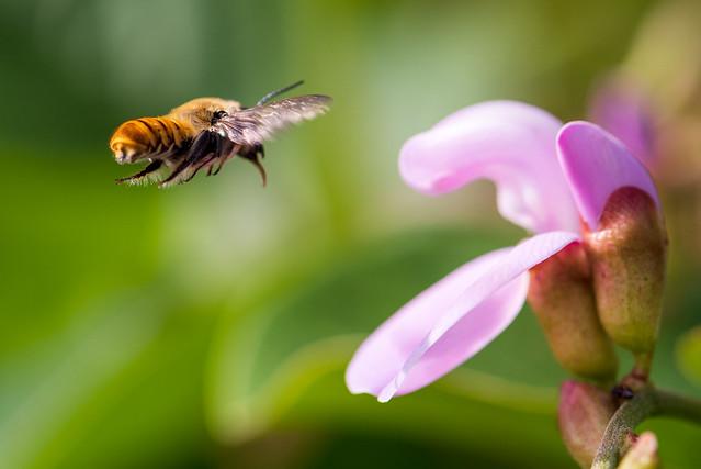 キバラハキリバチーYellow leafcutting bee