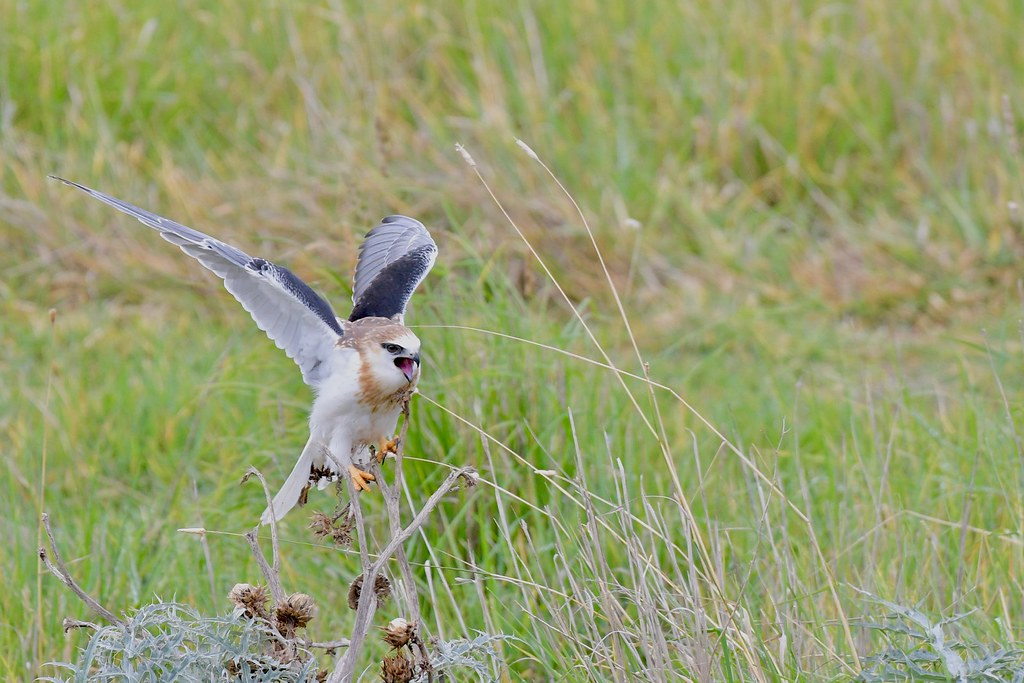 Black-shouldered Kite Juv. ( and Im hungry )