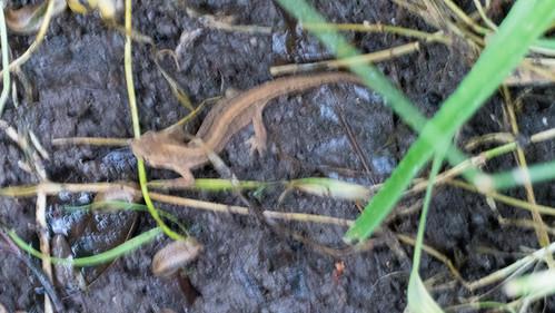 Smooth newt (under bird bath)
