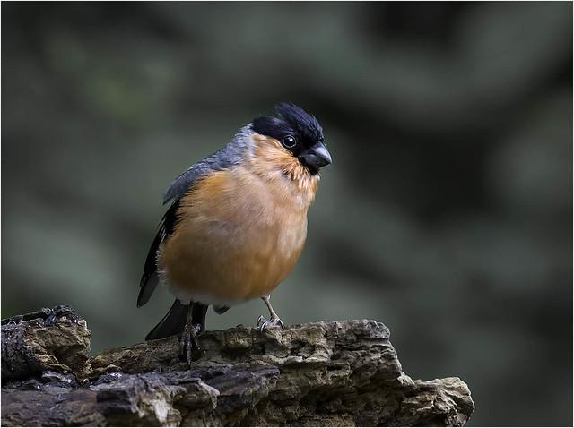 Bullfinch (m)