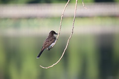 Eastern Kingbird During My Visit with Runyon to North Bay Park (Ypsilanti Township, Michigan) - August 1st, 2020