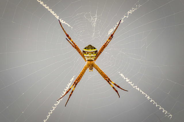 Southern Cross Spider (Explored)