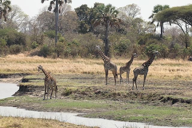 Masai giraffes, Ikuu River, Katavi National park, Tanzania