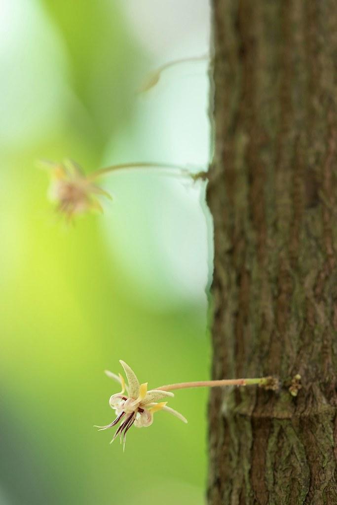 Theobroma cacao 0510-6; Malvaceae (1)