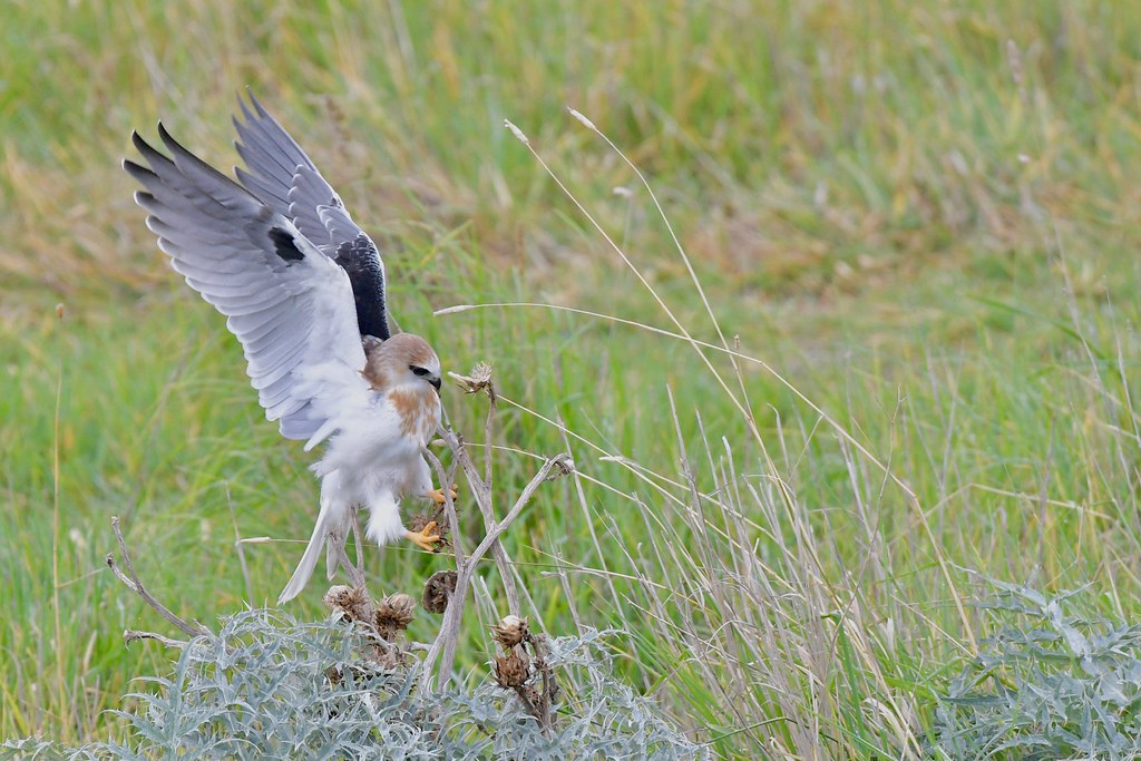 Black-shouldered Kite Juv. ( just a few more shots from  the  past )