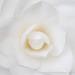White Camellia, 3.16.20