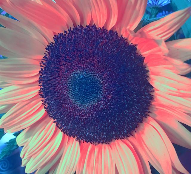 Sunflower III, Myersville, Maryland, August 2020.