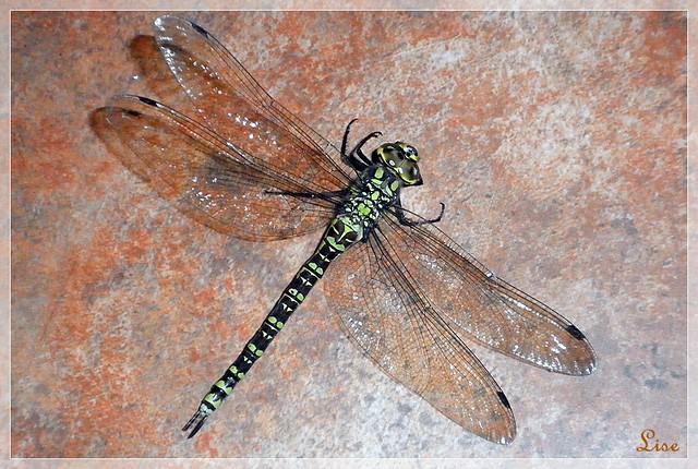 Ma 1ère libellule - 15 cm de long !!!