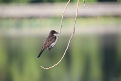 Eastern Kingbird During My Visit with Runyon to North Bay Park (Ypsilanti Township, Michigan) - 214/2020 51/P365Year13 4434/P365all-time (August 1, 2020)