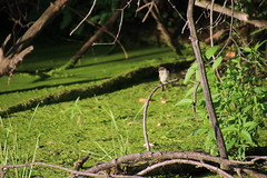 Eastern Wood-Pewee During My Visit with Runyon to North Bay Park (Ypsilanti Township, Michigan) - August 1st, 2020