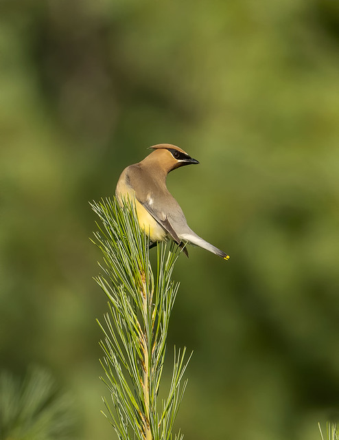 Cedar waxwing, Ontario, Canada