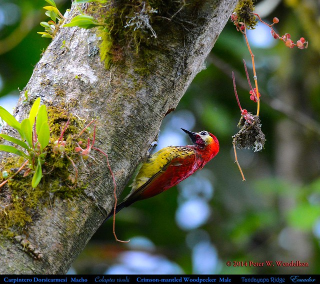 Woodpecker Nest: CRIMSON-MANTLED WOODPECKER Male Colaptes rivolii above Tandayapa in Northwestern Ecuador. Photo by Peter Wendelken.